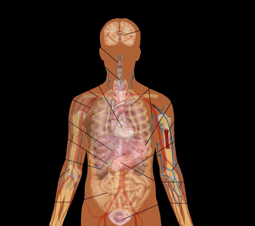 内脏各器官的英文名称和位置